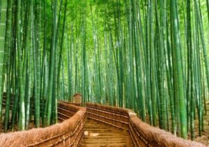 бамбуковые чащи