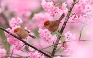 птички и сакура