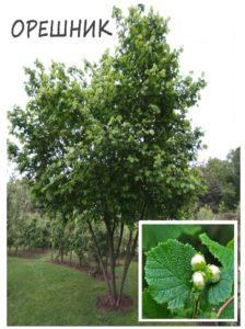 Дерево Орешник