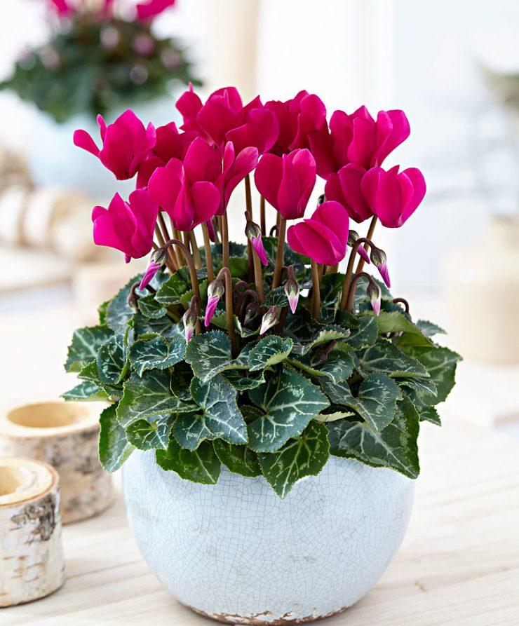 Цветок Цикламен - способен поглощать негативную энергетику, притягивает в дом достаток, снимает напряжение и улучшает самочувствие.