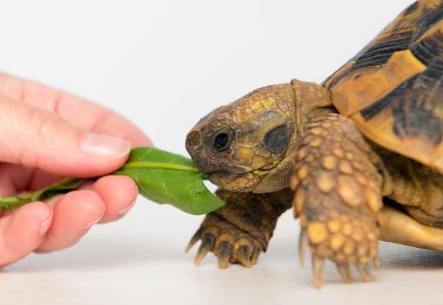 Человек, который во сне разговаривал с черепахой и кормил ее с руки, наяву встретит мудреца, который поможет ему достойно выйти из сложной ситуации