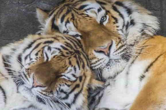 Lubov d god tigra